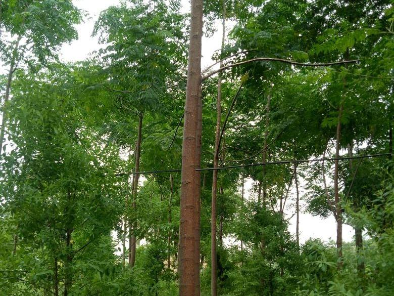 100 Sq Yards 3 Lacs Only With Sandal Wood Plantation(100